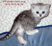 Британские котята из питомника VIVIAN.