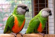 Сенегальский попугай – ручные птенцы выкормыши
