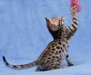 Мини леопарды
