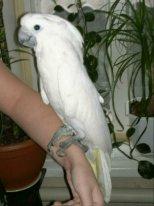 попугай альба птенец ручной выкормыш