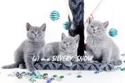 Плюшевые голубые британские котята для знающих людей