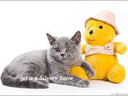 Элитные голубые британские котята.
