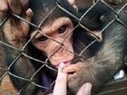 малыш шимпанзе баноба