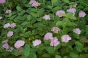 Спирея  густоцветковая