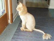 Cтрижка кошек. Возможен выезд  на дом