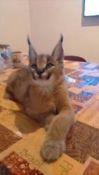 котята каракала