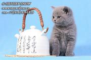 Где купить котенка британской породы?