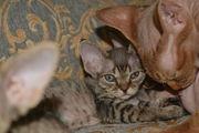 Девон-рекс Котята из питомника