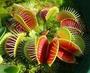 Хищные растения (мухоловка,  саррацения,  непентес,  жирянка)