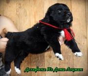 Продам племенных щенков Алабая