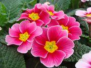 Цветы примула и крокус к 8 марта и 14 февраля 2019г.