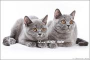 Британские котята - супер-р-р-р котята! ! !